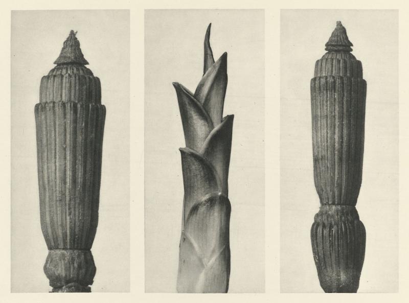 KarlBlossfeldt_Art Forms in Plants_a