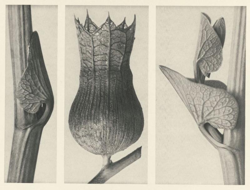 KarlBlossfeldt_Art Forms in Plants_b